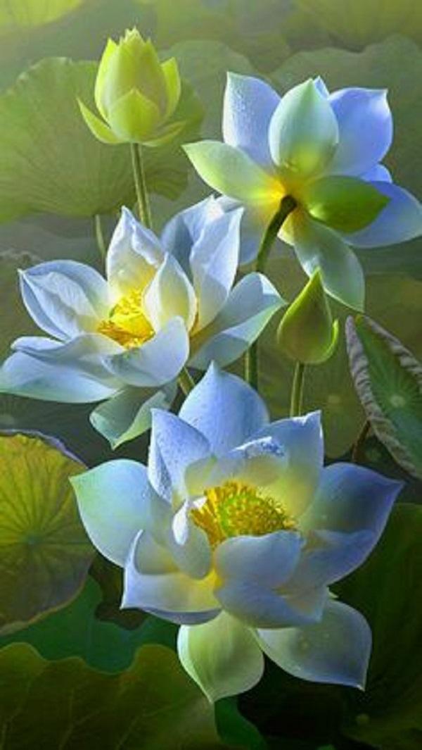 Hình nền hoa sen cho điện thoại - hoa sen tím