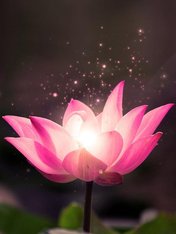 Hoa sen hồng trong phật giáo thể hiện sự tinh khiết của con người