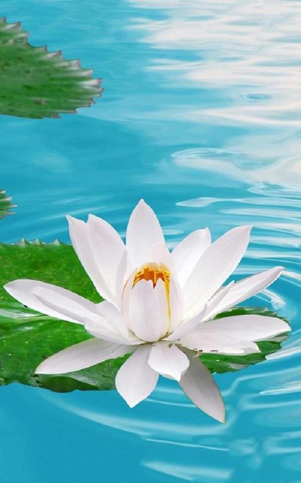 Hoa sen trắng mang theo sự yêu thương