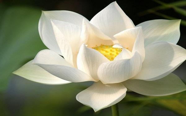 Hoa sen trắng mang vẻ đẹp thanh cao