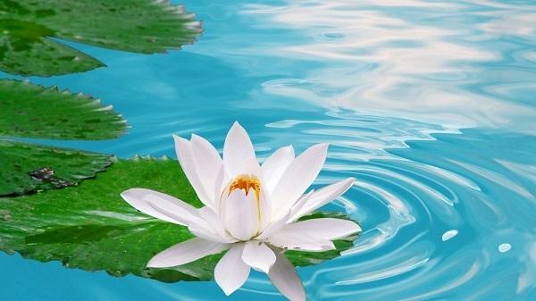 Hoa sen trắng mang vẻ đẹp tinh khiết