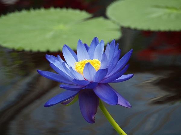Hoa sen xanh là loài hoa đem đến sự trìu mến cho người ngắm