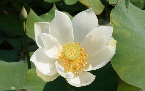 Ý nghĩa của hoa sen trắng - hình nền cho điện thoại