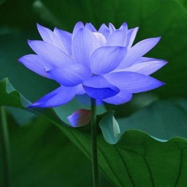 Ý nghĩa của hoa sen xanh - hình nền cho điện thoại