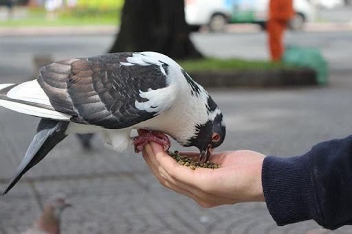 Giấc mơ về chim bồ câu ngụ ý rất nhiều thông điệp khác nhau
