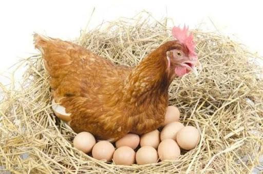 Mơ gà đẻ rất nhiều trứng là điềm lành hay dữ?