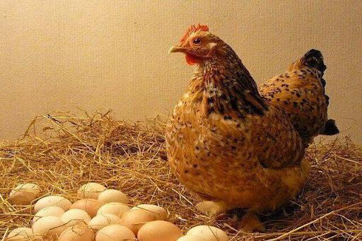 Gà đẻ trứng có ý nghĩa gì? mơ gà đẻ trứng đánh con gì?