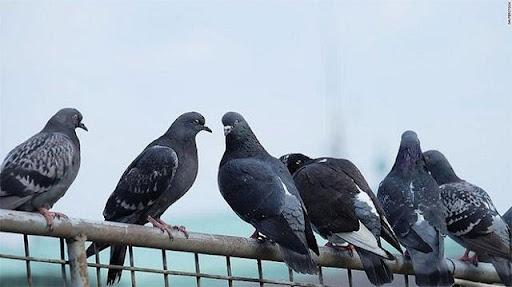 Bật mí đáp án mơ thấy chim bồ câu đánh con gì may mắn